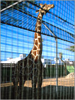 Image of a Giraffe at Dubai Zoo